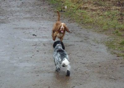 Cocker spaniels playing at Erskine beach