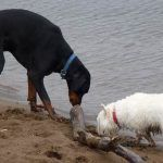 Doberman and westie sniffing a large stick on beach