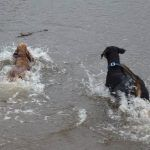 dogs splashing in river clyde