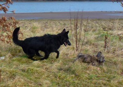 lhasa apso pup being chased by german shepherd pup