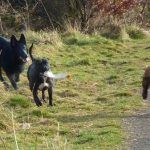 Staffie Rex with pups chasing after him!