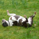 English bull terrier rubbing on grass!