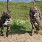 Lurchers running