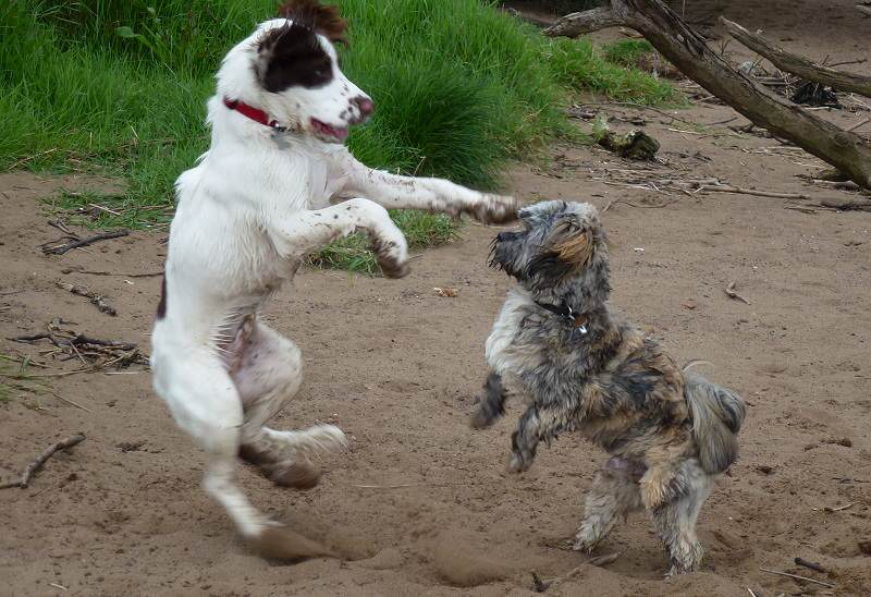 springer spaniel puppy and lhasa apso puppy