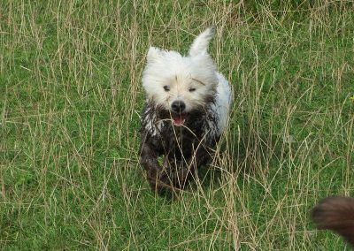 Very dirty west highland terrier!