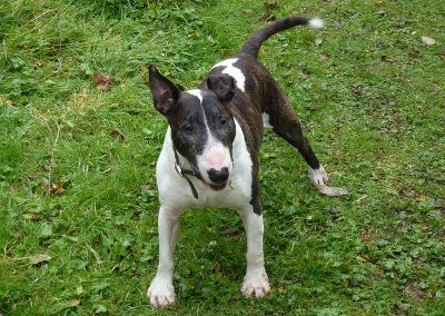 Wilfred the english bull terrier