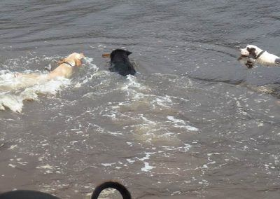Dogs swimming after same stick!