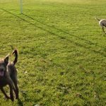 dogs running in playing fields