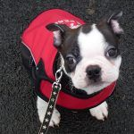 buddy the boston terrier puppy
