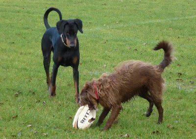 dogs with rugby ball