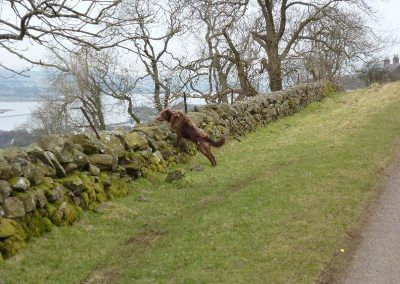 ruby looking over stone wall