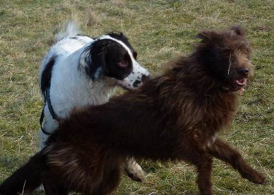 Springer and collie