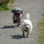 Lhasa ahpso and westie