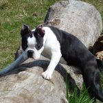 boston terrier on log