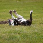 english bull terrier back rubbing