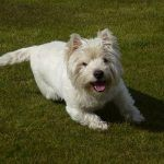 happy west highland terrier