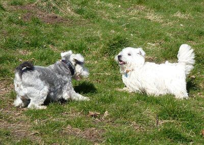 west highland terrier playing with miniature schnauzer