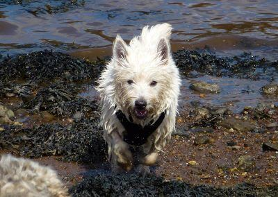 wet west highland terrier