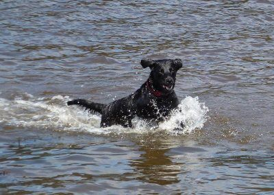 young working labrador swimming