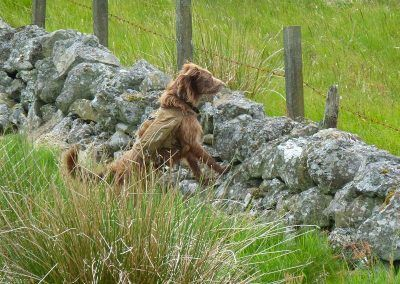 Dog peering over a wall