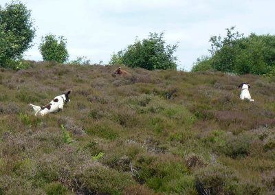 dogs finding ball in heather