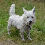 Jack the West Highland Terrier!