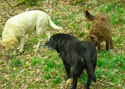Labradors, Bess and Bonnie and Collie X Ruby