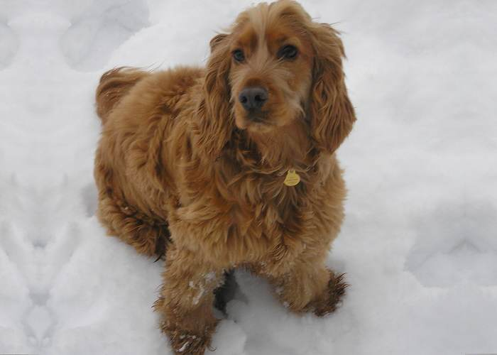 golden cocker spaniel in snow
