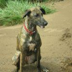 wet lurcher roxy