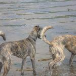 young lurchers
