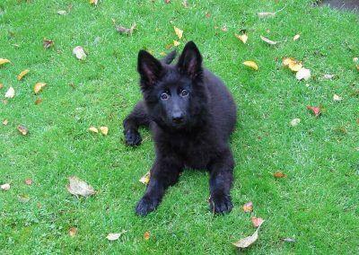 german shepherd puppy lying on grass