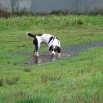 Spaniel drinking from a puddle