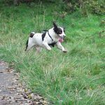 Liver and white springer spaniel running
