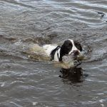 Springer spaniel swimming with bottle