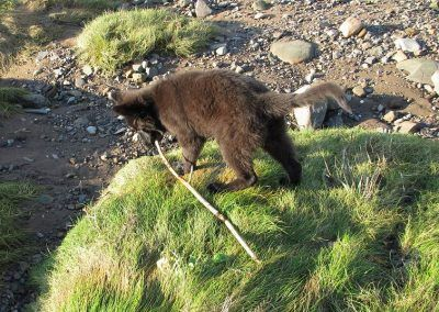 Black long coated German shepherd puppy