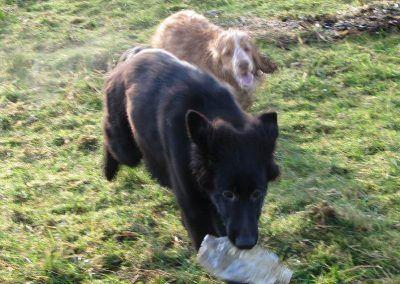 German shepherd pup being chased