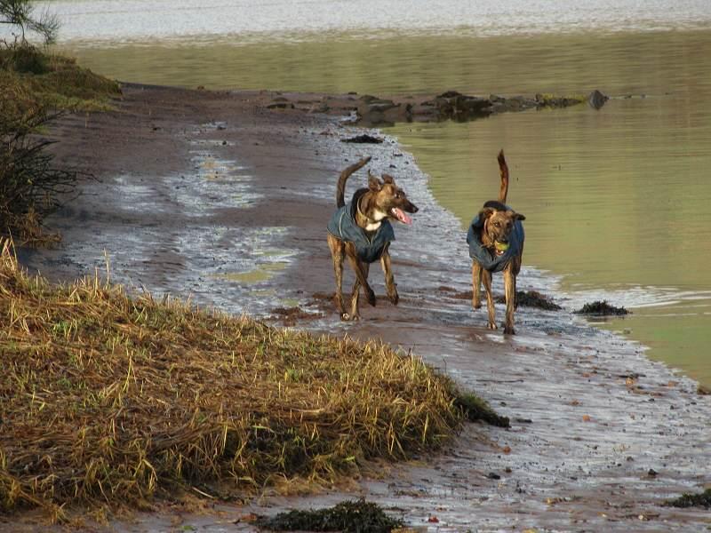 Lurchers running at the beach in Erskine
