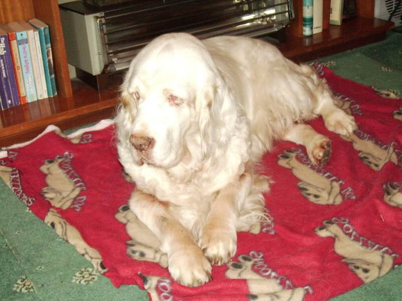 Holly the clumber spaniel at 16 years old