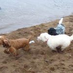 Dogs chasing Penny on the beach