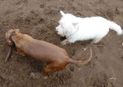 Mack watches while Penny buries her stick!