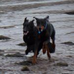 german shepherd and doberman running