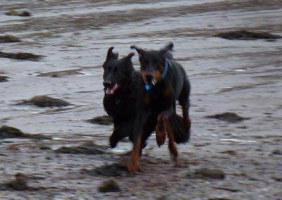 german shepherd and doberman running