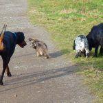 dog walking four dogs