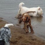 Renfrewshire dogs being walked in Erskine beach
