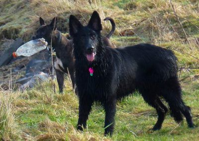 young black gsd