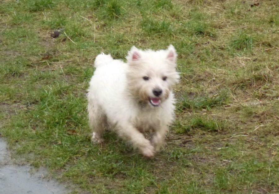 heavy west highland terrier