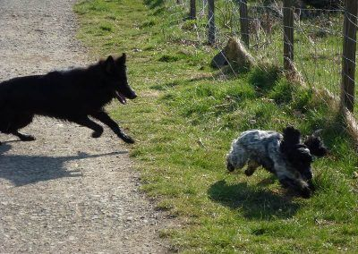 Jersey likes to get a chase!