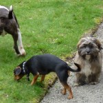 Wilfred, Chilli enjoy a walk with Ruffles
