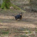 Dog walking in finlaystone with Chilli