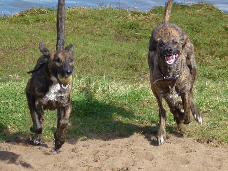 Lurchers running